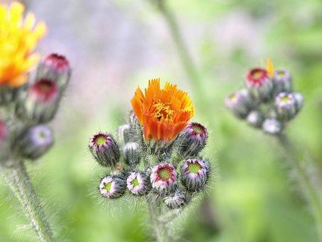 Hawkweed, Red Orange Hawkweed, Orange, Blossom, Bloom