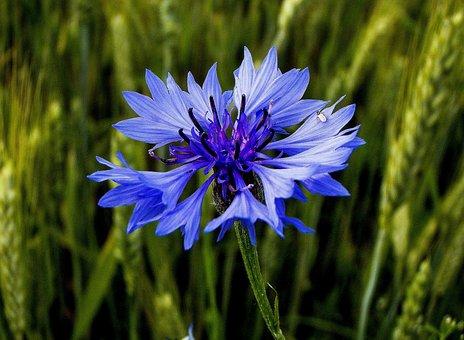 Cornflower, Bluebottle, Flower, Blue, Plant, Summer