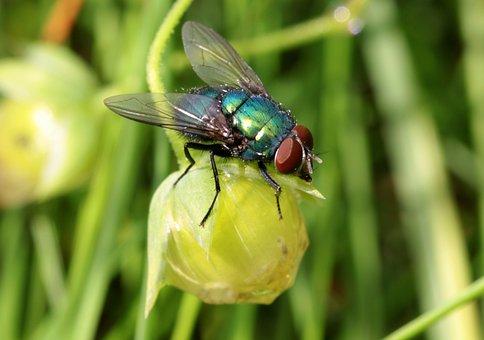 Fly, Bluebottle, Calliphoridae, Bluish, Greenish, Shine