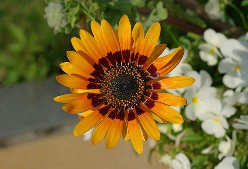 Cape Daisy, Venidium Fastuosum, Flower, Plant, Nature