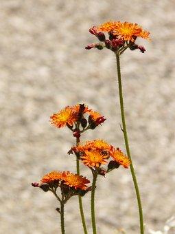 Red Orange Hawkweed, Hawkweed, Composites, Orange