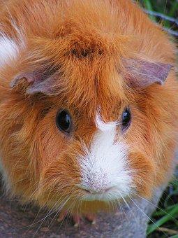 Guinea-pig, Red, Female, Rosette, White, Head, Portrait