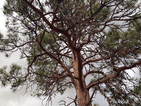 Tree, Ponderosa Pine, Pine, Ponderosa, Nature, Green