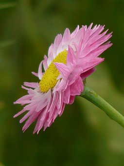 Sun Wing, Flower, Blossom, Bloom, Pink, White, Yellow
