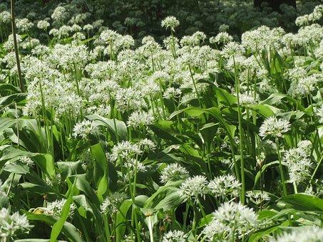 Allium Ursinum, Ramsons, Buckrams, Wild Garlic