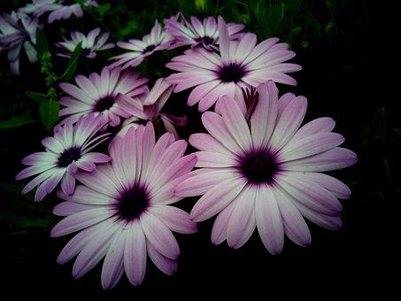 Dimorfoteca, Cape Daisy, Flowers, Rosa, White Color