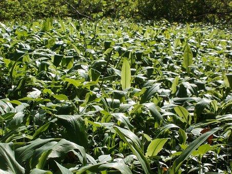 Allium Ursinum, Bear-garlic, Wild, Food, Green, Spring