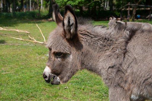 Donkey Foal, Donkey, Foal, Baby, Free Deer, Hellenthal