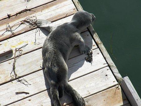 Seal, Baby Seal, New Born, Sea, Phoque Commun