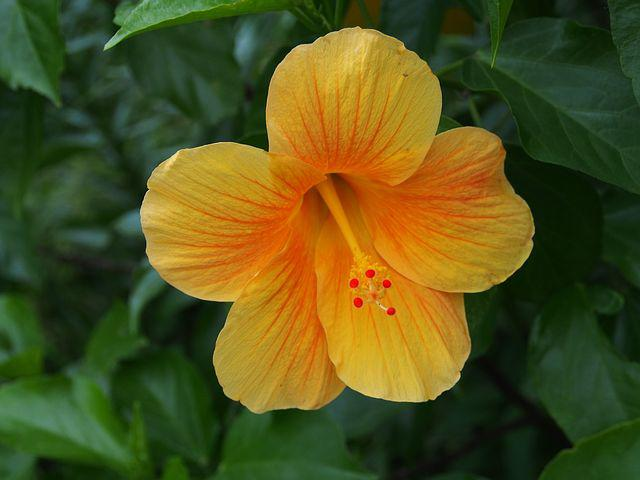 Hibiscus, Cleft, Yellow