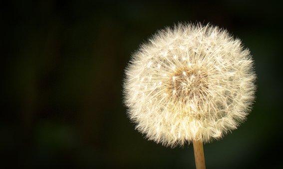 Dandelion, Close Up, Seeds, High Contrast