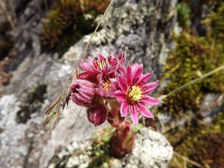 Cobweb Houseleek, Herb, Sempervivum Arachnoideum, Plant