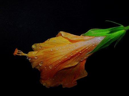 Hibiscus, Orange, Dew, Drops, Flower, Tropical, Plant