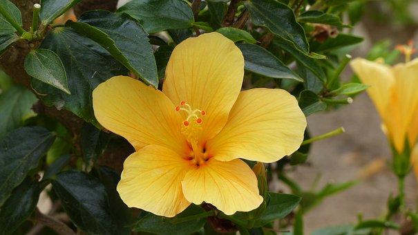 Yellow Hibiscus, Hawaiian National Flower, Flowers