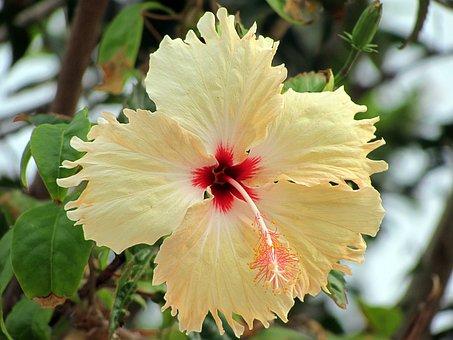 Hibiscus, Flower, Yellow, Flowers, Flora, Field, Nature
