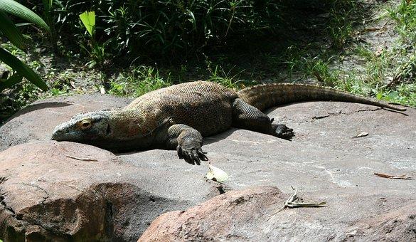 Komodo Dragon, Komodo Monitor, Lizard, Island, Reptile