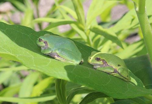Japanese Tree Frog, Fauna, Green, Amphibians