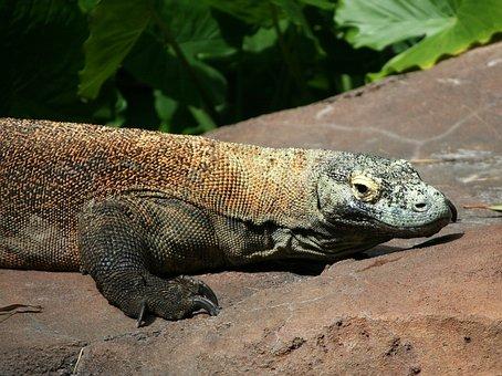 Komodo Dragon, Lizard, Komodo Monitor, Monitor