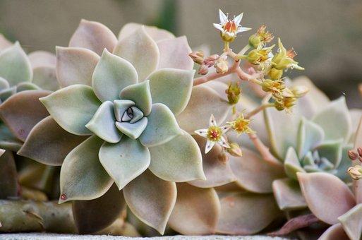 Succulent, Plant, Nature, Flower, Wild, Green, Cactus