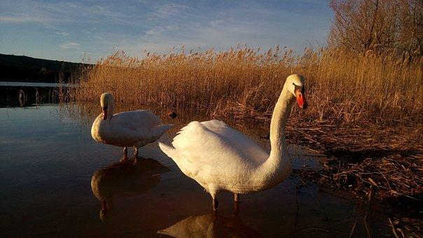 Swans, The Grajera, Logroño, Marsh, Nature, Sunset
