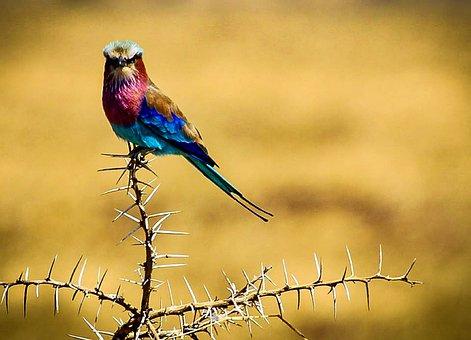 Roller Coracias Caudatus, Bird, Tanzania, Africa
