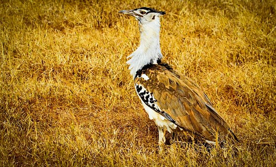 Kori Bustard, Africa, Tanzania, Safari