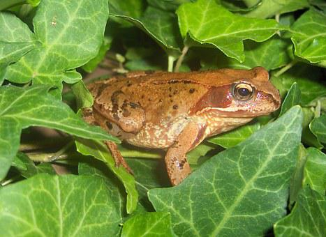 Toad, Frog, Amphibians, Nature, Creature, Brown, Fat