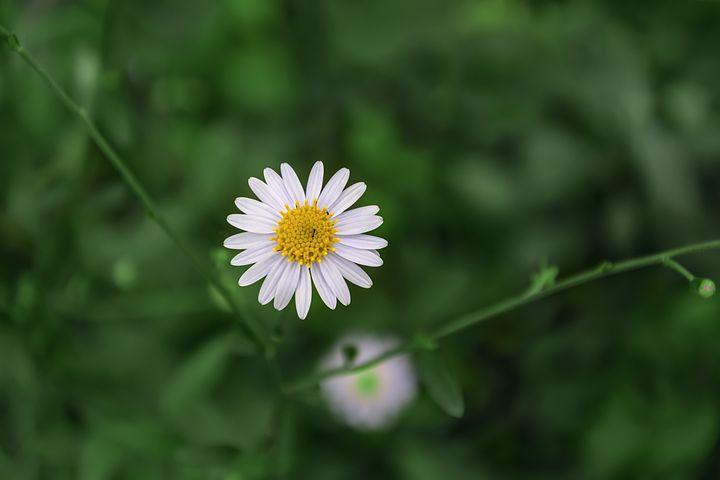 Chrysanthemum, Flower, Petal, Ant, Bug, White
