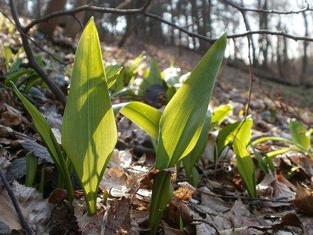 Allium Ursinum, Wild Garlic, Bear-garlic, Wild, Spring