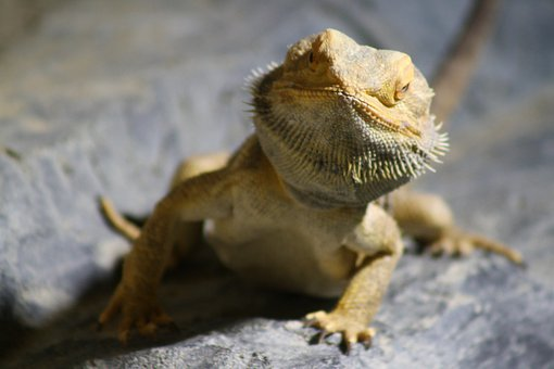 Lizard, Curious, Reptile, Zoo, Exotic, Creature