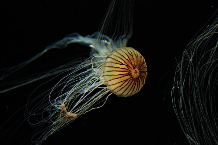 Jellyfish, Animal, Medusa, Cnidaria, Nature, Wild