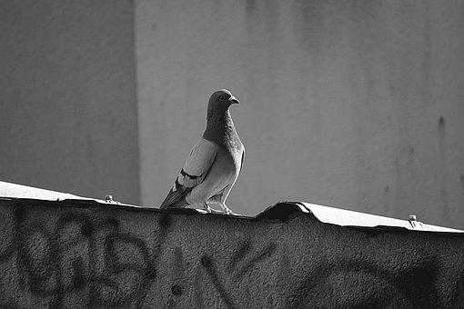 Pigeon, Bird, Fauna, Wood Pigeon, Animal, Animals