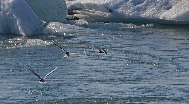 Glacial Lake, Birds, Hunt, Fish, Arctic Tern, Iceland