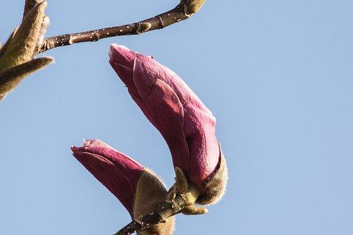 Magnolia, Blossom, Bloom, Bush, Spring, Bloom, Plant