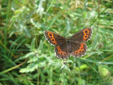 Insect, Butterfly, Meadows Schwaerzling, Erebia Medusa