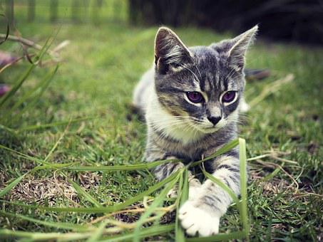 Kitten, Cat, Grass, Domestic, Pet, Young, Cute, Animal