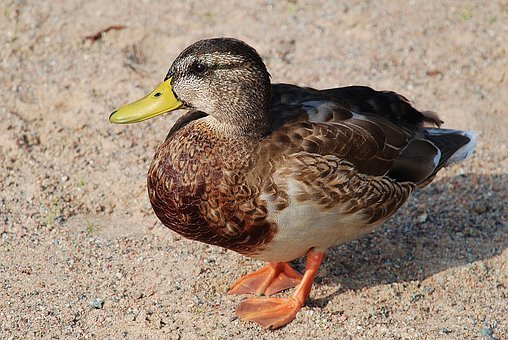 Duck, Ducks, Animal, Pets, Water, Bird, Nature, Head