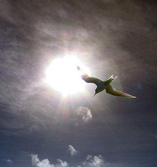 Fairy Tern, Berd, Flying, Flight, Sun, Sky, Clouds