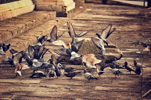 Pigeons, Birds, A Flock Of Birds, Florence, Animal
