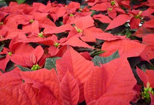 Christmas Terne, Flower, Red, Advent, Plant, Blossom