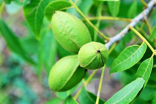 Nuts, Pecan, Green, Elongated, Tree, Snack, Ingredient