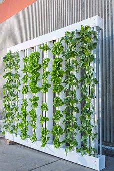 Vertical Farm, Green Wall, Bok Choy, Lettuce
