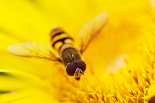 Animal, Bug, Detail, Flower, Fly, Head, Hoverfly