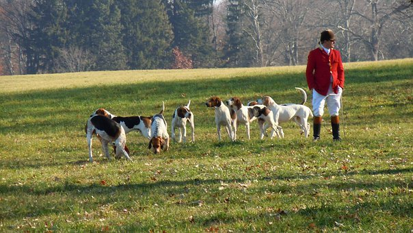Dogs, Hunt, Red Jacket, English, Pet, Animal, Domestic