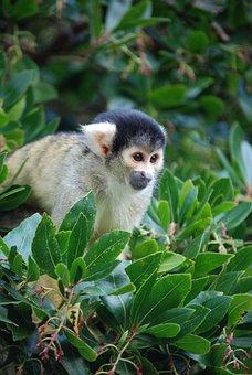 Squirrel Monkey, Saimiri, Eyes, Tree, Animal, Mammal