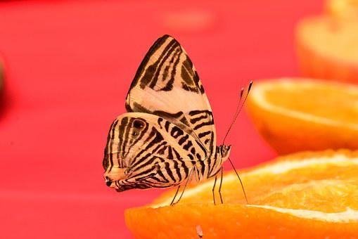 Butterfly, Zebra, Mosaic, Insect, Nature, Bug, Wildlife