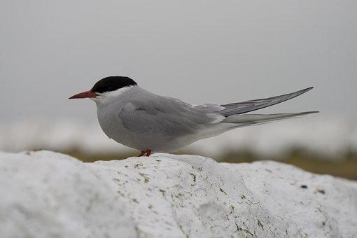 Tern, River Tern, Bird, Shore Bird, Fishing, Aves