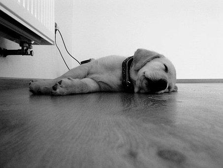 Dog, Puppy, Floor, Drowsiness, Sleep