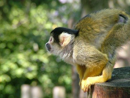 Monkey, Dead Chief Monkey, Squirrel Monkeys, Saimiri