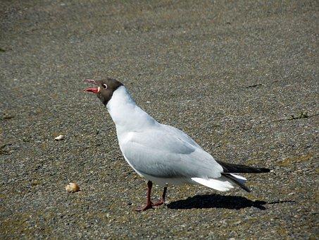 Tern, Mating Call, Bird